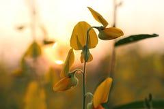 Le soleil de fond de jaune de fleur de Crotalaria se couche photographie stock