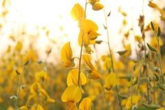 Le soleil de fond de jaune de fleur de Crotalaria se couche photos stock
