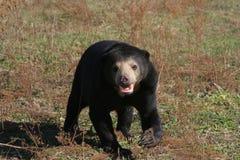 le soleil de malaysian d'ours Image stock