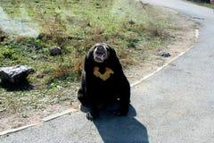 le soleil de malaysian d'ours Images stock