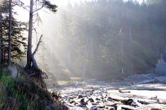 Le soleil de matin coulant par la forêt de peuplement vieux Image libre de droits