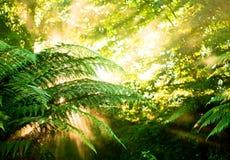 Le soleil de matin dans une forêt humide brumeuse Image stock