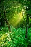 Le soleil de matin dans une forêt humide brumeuse Photographie stock libre de droits