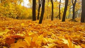 Le soleil de parc d'automne quitte le parc, feuillage d'usine de novembre de nature clips vidéos