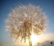 Le soleil de pissenlit, macro Photos stock