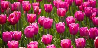 Le soleil de tulipes au printemps Image libre de droits