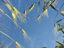 Le soleil et les oreilles vertes d'un seigle Image stock
