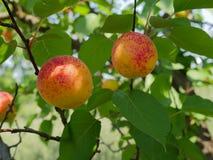 Le soleil juteux d'abricots en juillet photo stock