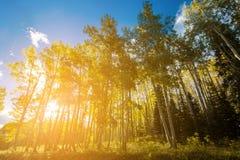 Le soleil lumineux brille par la forêt d'arbres d'or de tremble dans Colora photo libre de droits