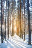 Le soleil lumineux dans la forêt d'hiver avec des arbres couverts de hoarfros Photos libres de droits