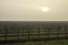 Le soleil malade lutte pour pénétrer le ciel blanc gris du matin froid d'hiver qui enveloppe le vignoble de sommeil photos libres de droits