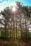 Le soleil par le pin Photo libre de droits