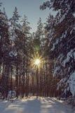 Le soleil rayonnant dans les bois d'hiver Photos libres de droits