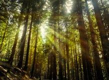 Le soleil rayonne par les branches des arbres grands photographie stock