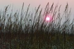 Le soleil rose de coucher du soleil dans un ciel gris brumeux entre les tiges de l'herbe brune sèche image stock