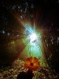 Le soleil se lève entre l'image en bambou d'arbres photo libre de droits