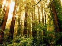 Le soleil se levant au-dessus des bois de Muir Image libre de droits