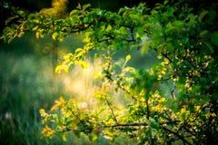 le soleil sur des feuilles avec des baisses de rosée photographie stock