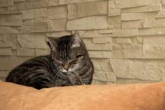 Le sommeil de chat domestique Image libre de droits