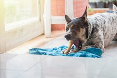 Le sommeil de chien et rongent l'os photo libre de droits