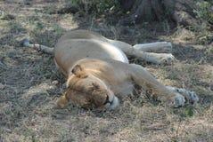Le sommeil de lionne Photographie stock