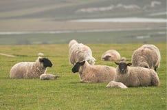 le sommet agnelle des moutons image libre de droits