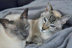 Le sorelle del punto di Lynx della guarnizione si rilassano Fotografia Stock