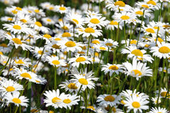 Le sort de la marguerite de champ fleurit sur le pré en plan rapproché de jour d'été Photographie stock