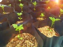 Le souci, détendent le temps avec le jardinage, élevage de jeune usine Photo libre de droits