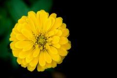 Le souci fleurit si beau sur le noir alternant le backgro vert Photo libre de droits