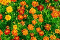 Le souci jaune fleurit le fond, gisement de fleurs de souci Photo stock