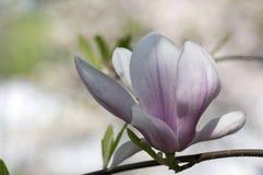 Le soulangeana de magnolia a également appelé la magnolia de soucoupe arbre fleurissant de printemps avec la belle fleur blanche  Photos stock
