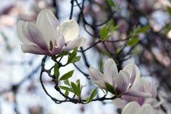 Le soulangeana de magnolia a également appelé la magnolia de soucoupe arbre fleurissant de printemps avec la belle fleur blanche  photo libre de droits