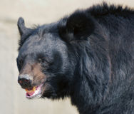 Le sourire de l'ours Image libre de droits