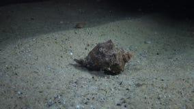 Le specie dilaganti marine venato il rapana venosa della buccina video d archivio