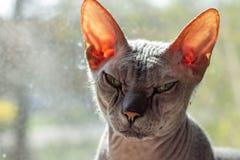 Le sphinx gris chauve de race de chat se repose pr?s de la fin de fen?tre  photo libre de droits