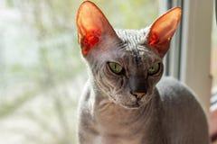 Le sphinx gris chauve de race de chat se repose pr?s de la fin de fen?tre  image libre de droits