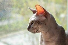 Le sphinx gris chauve de race de chat se repose pr?s de la fin de fen?tre  photo stock
