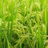 Le spighe del primo piano del granoturco su riso verde sistemano agricoltura Fotografia Stock