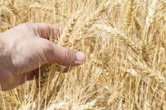 Le spighette di grano nella mano sui precedenti sistemano Fotografia Stock