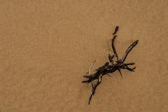 Le spighette si sviluppano in sabbia Immagini Stock Libere da Diritti