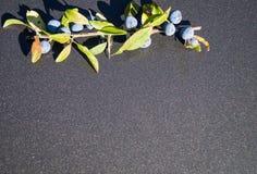 Le spinosa de prunus de baie de prunellier photo libre de droits