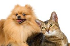Le spitz-crabot et le chat Photo libre de droits