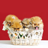 Le spitz mignon poursuit des chiots Photo libre de droits