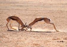 Le springbok enfonce le combat photo libre de droits