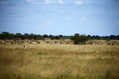 Le springbok raffine le jeu Image libre de droits