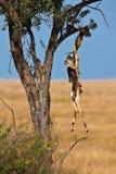 Le squelette d'une antilope s'arrêtant dans un arbre Photographie stock libre de droits