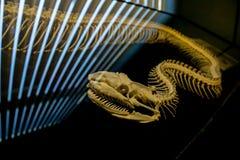 Le squelette du serpent à l'arrière-plan d'éclairage photos libres de droits