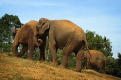 Le Sri Lanka : Éléphants de Pinnawela Image libre de droits