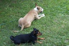 Le Staffordshire américain Terrier et pinscher poursuivent le repos sur une herbe Photographie stock